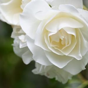 薔薇の名前 アイスバーグ Iceberg 氷山は可憐な白雪姫だった