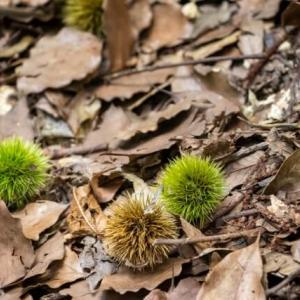 父と山栗 Wild Chestnuts 秋の散歩のお土産