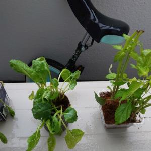 ushio家、ベランダ栽培はじめました。