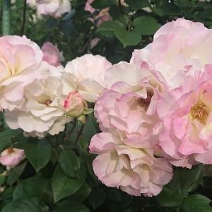 かわいくてよく咲くバラ:マチルダ 2021
