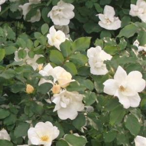 バラ:ホワイトノックアウトもたくさん咲きました!2021
