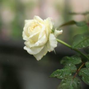 バラ:ロイヤルプリンセスの二番花が咲きました!2021