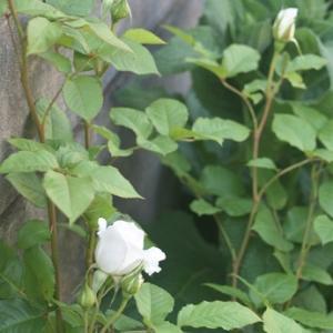 去年お迎えした白いバラ:アンナプルナ(Annapurna) 2021