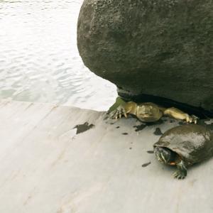 亀とスッポン