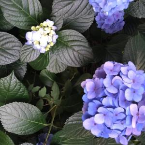 心に響く花色 紫陽花のある風景