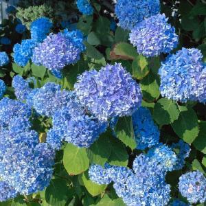 紫陽花とコスモスが同時に咲く