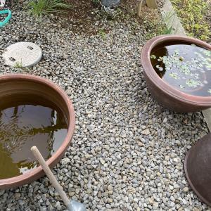 睡蓮と鉢を処分 /  墓参り