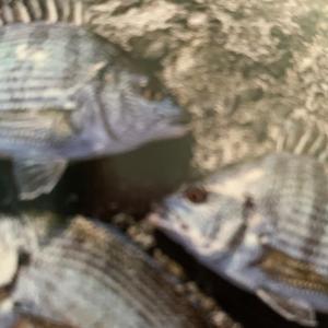 釣れる魚~防波堤~1