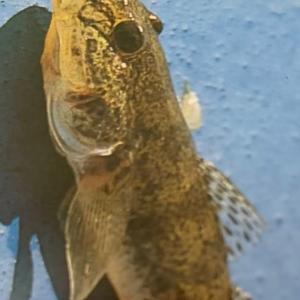 釣れる魚~防波堤~9~ハゼ~