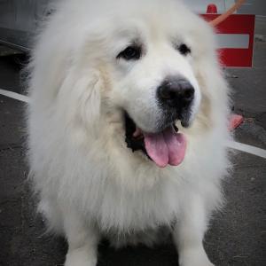 グレートピレネー犬