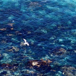 神威岬のカモメ