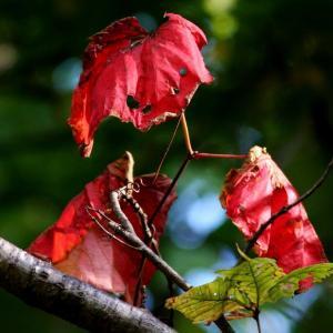 紅葉とシジュウカラ、エゾリスそしてシマエナガ