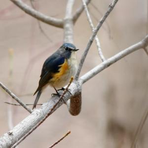 旭山記念公園の野鳥