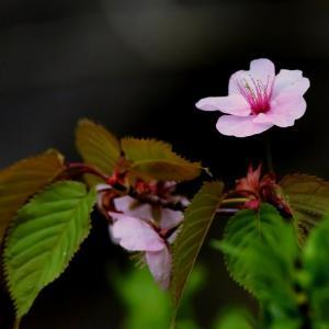 桜とヤマゲラ