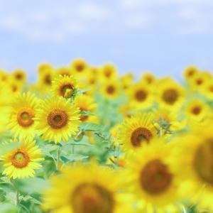 酷暑の中、リベンジひまわり畑!