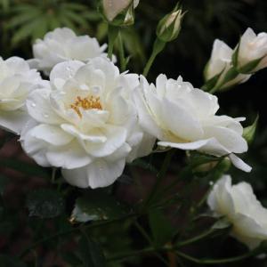 日陰に強い白バラ『ファビュラス!』を育てる -半日陰マンションの庭[鉢植え]
