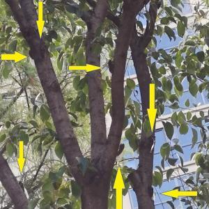 河南省開封市で蝉の観察をする-スジアカクマゼミなのかな?-