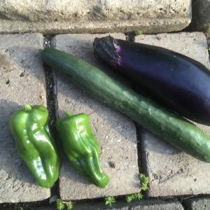 夏野菜の収穫 Harvesting summer vegetables