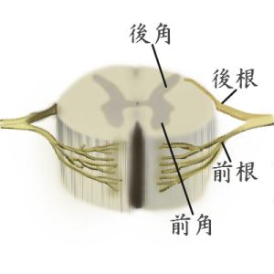 専門解説! 脊髄の超基本をわかりやすく解説します