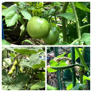 りんご箱菜園の初夏の準備 まだまだ実がないし、しっぱいの予兆