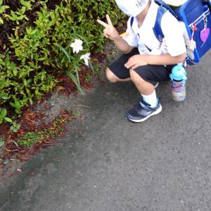 登校の風景 百合の花