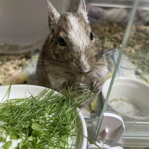 デグーマウスとは?ペットとしての飼い方や値段・寿命・飼育費用を徹底解説