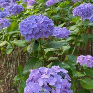 紫陽花、咲き乱れる