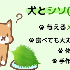 犬にシソ(大葉)を与えても大丈夫!体への凄い効果と含まれる成分について解説!