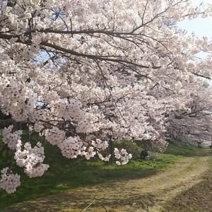 2018年の「一目千本桜」