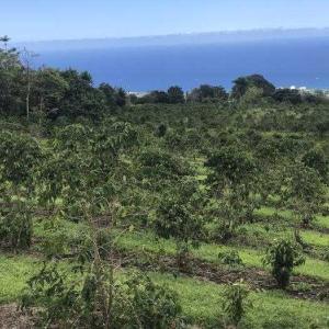 コナのコーヒー農園