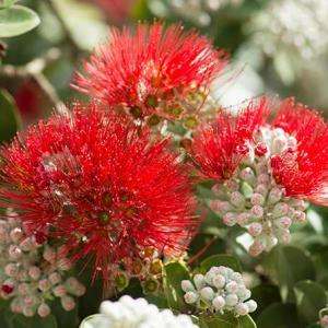 ハワイ島の花 オヒアフレア 島の色は赤