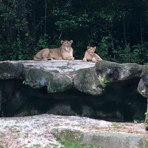 Singapore Zooに行ってきた!気になる乗り物発見。