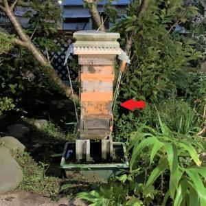 二ホンミツバチ飼育作業