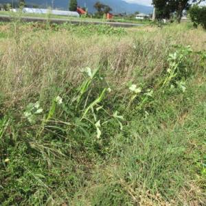 自分流自然農 緊急事態のオクラたち2021年9月22日