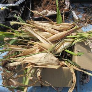 自分流自然農 黒もちトウモロコシ片付け