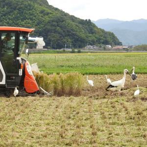 稲刈りにコウノトリ喜ぶ