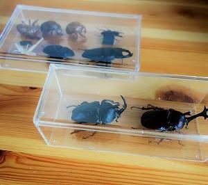 クワガタ・カブトムシ昆虫標本作り。100均材料で簡単にできる