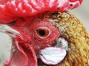 中国語:鶏は三歩歩けば忘れる