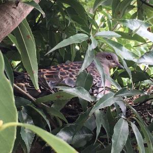 アパートの植栽に鳩の巣ができていました