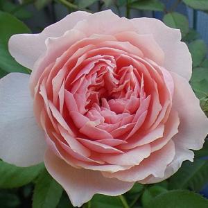 ラ・フランス、シャンテロゼミサト、パヴィヨンドゥプレイニーなど@咲き始めた三番花の蕾