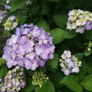 紫陽花とヒグラシ