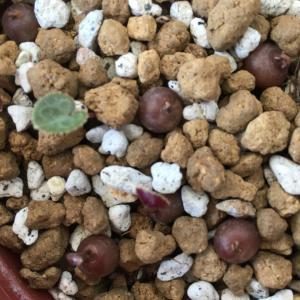 種を蒔いたミニシクラメンの現在