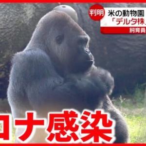 【アメリカ】動物園のゴリラ感染  ブロードウェー1年半振りに再開【海外コロナ情報】