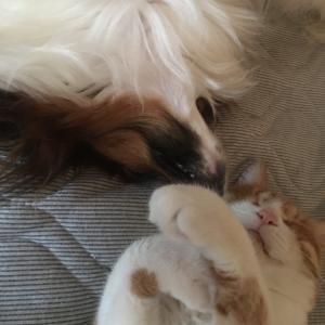 やさぐれる ろく③【わが家の犬VS猫バトル】