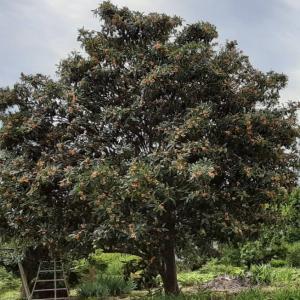 【一条工務店】解体工事費を節約!樹齢50年の大きなびわの木を伐採?
