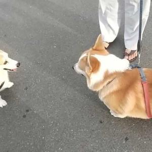 ありす お散歩で コーギーのムックくんに会ったよ