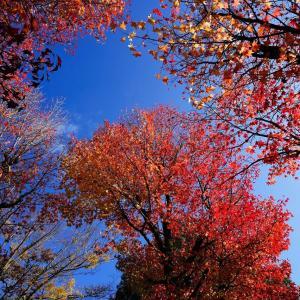 金沢、アメリカ楓通りの紅葉