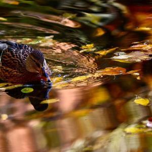 紅葉の池に.......
