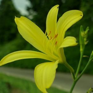 耕地整理土地改良区にて花撮り、黄色いユリ、紫陽花