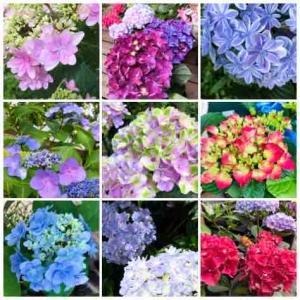 鉢植え紫陽花の夏越し
